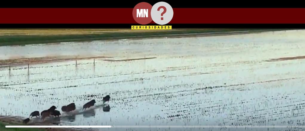 Porcos atravessando campos de arroz no japão