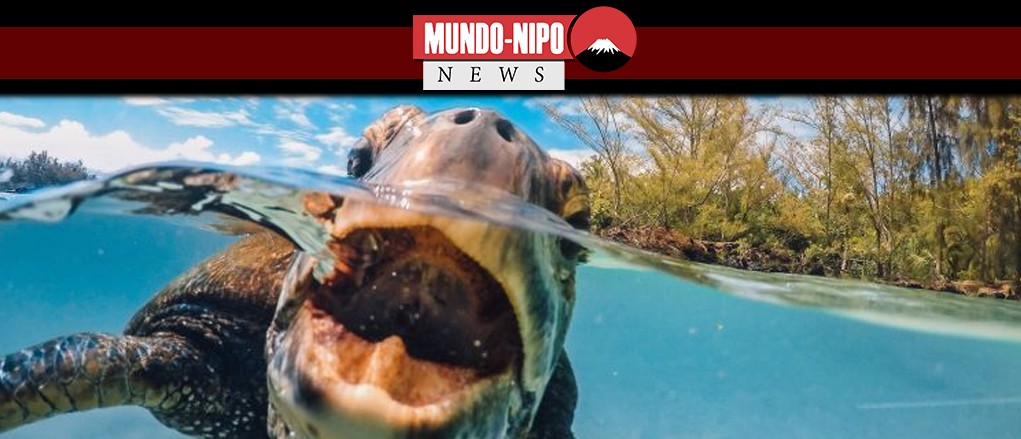 Pesquisadores utilizam tartarugas marinhas para medir a água