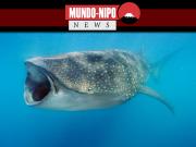 Tubarão-baleia se alimentando em alto mar